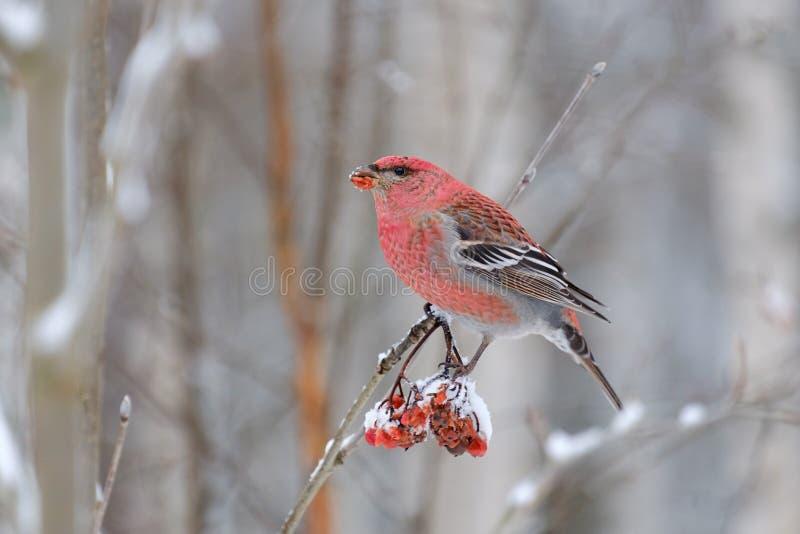杉木哺养在花楸浆果的蜡嘴鸟男性 图库摄影