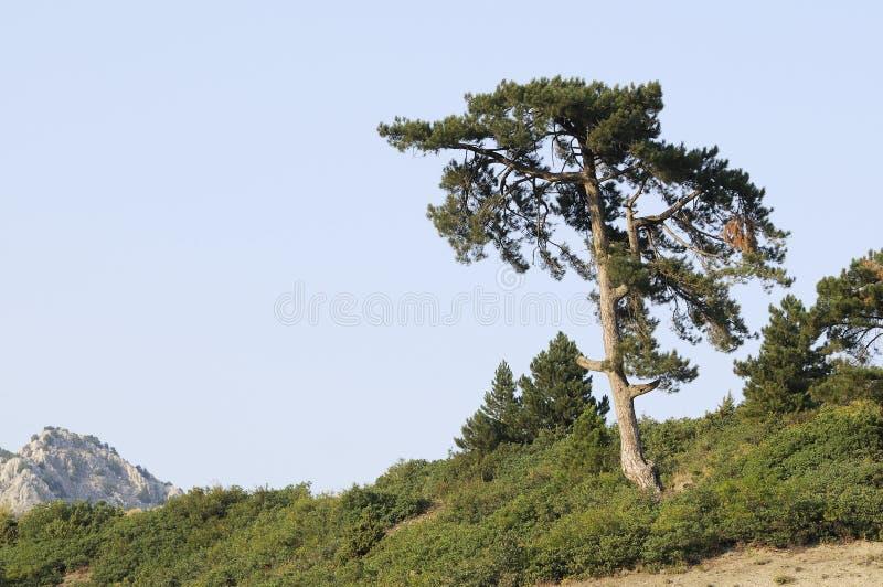 杉木唯一结构树 库存照片