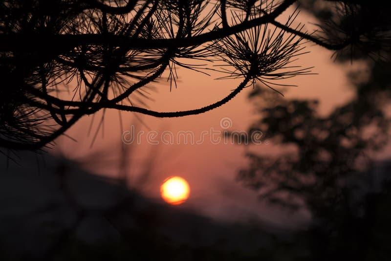 杉木在日落的背景分支 图库摄影