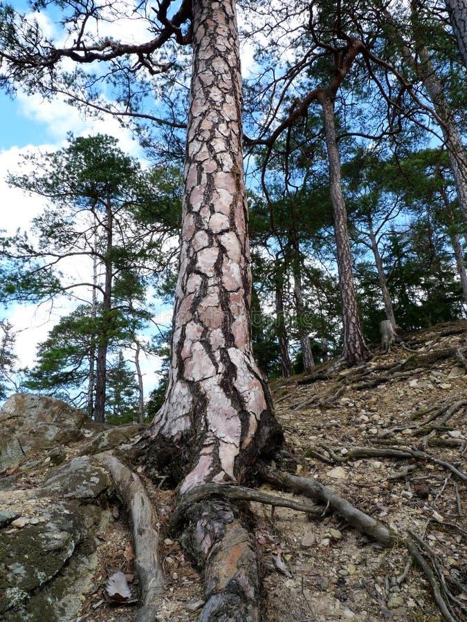 杉木岩石结构树 库存图片