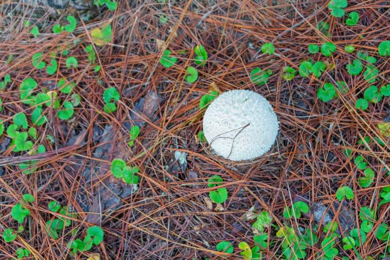 杉木成长、成长和蘑菇幼木在有露水的森林里在日出第7部分的草 图库摄影