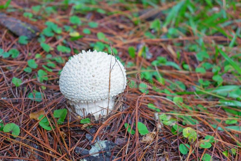 杉木成长、成长和蘑菇幼木在有露水的森林里在日出第6部分的草 免版税库存照片