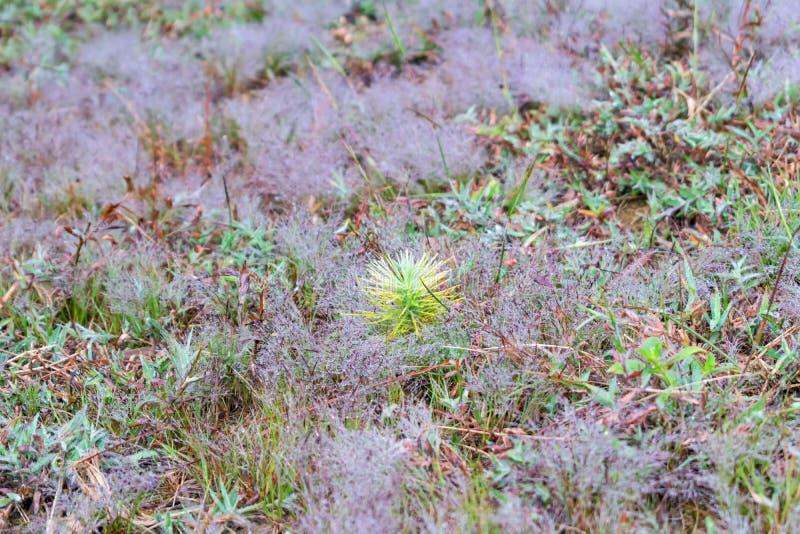 杉木成长、成长和蘑菇幼木在有露水的森林里在日出第3部分的草 库存照片