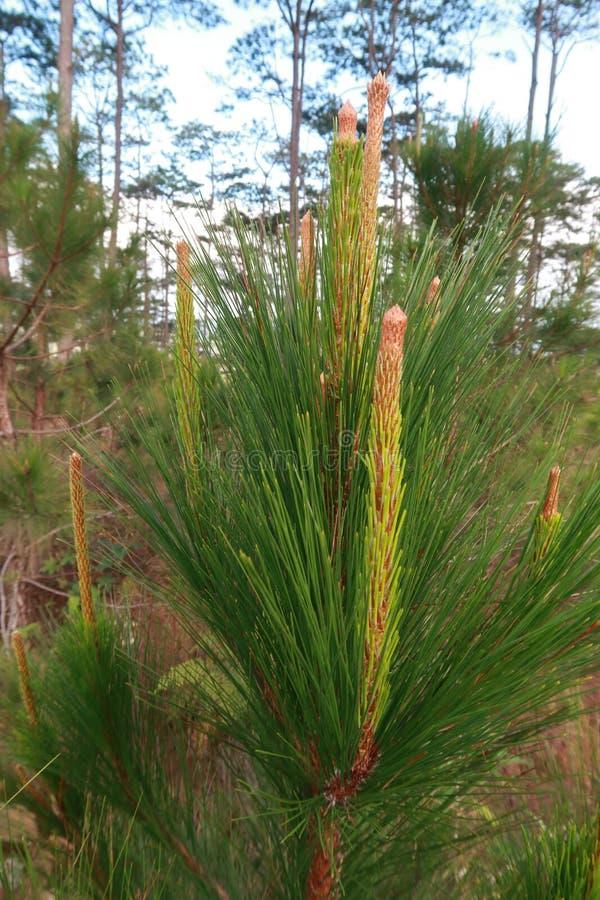 杉木成长、成长和蘑菇幼木在有露水的森林里在日出第2部分的草 免版税图库摄影