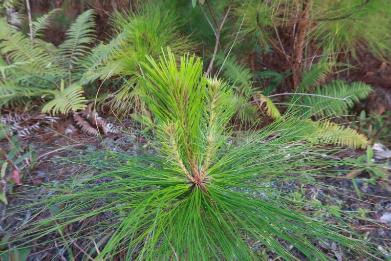 杉木成长、成长和蘑菇幼木在有露水的森林里在日出第5部分的草 免版税库存照片