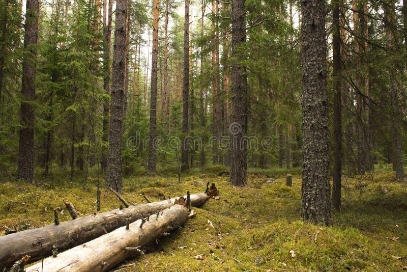 杉木有落的树和青苔的夏天森林 库存图片