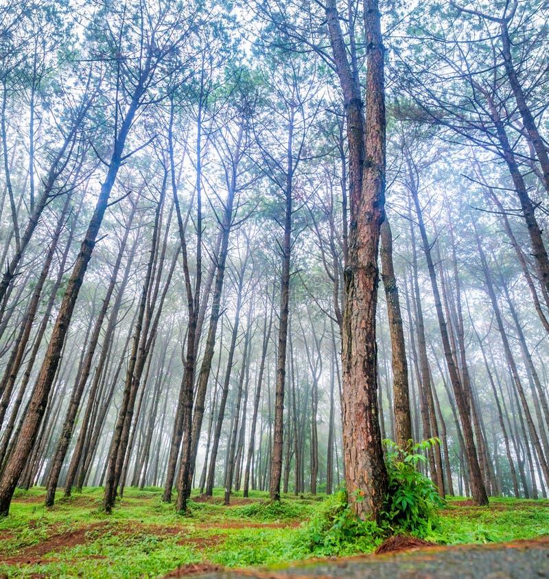 杉木森林公园001 库存图片