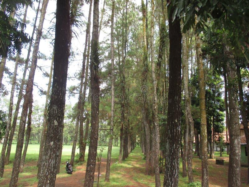 杉木森林公园 库存图片