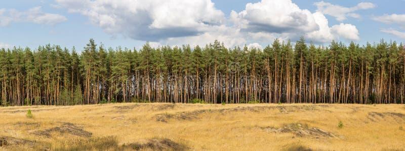 杉木森林和多云天空特大号宽全景在背景 免版税库存照片