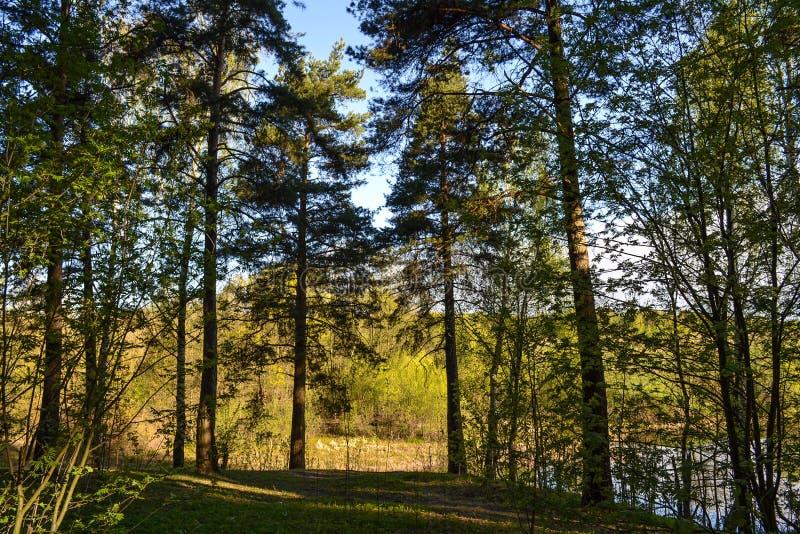 杉木森林在一个晴天 从丛林的看法 免版税库存照片