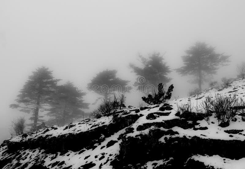 杉木森林在冬天和雪 库存照片