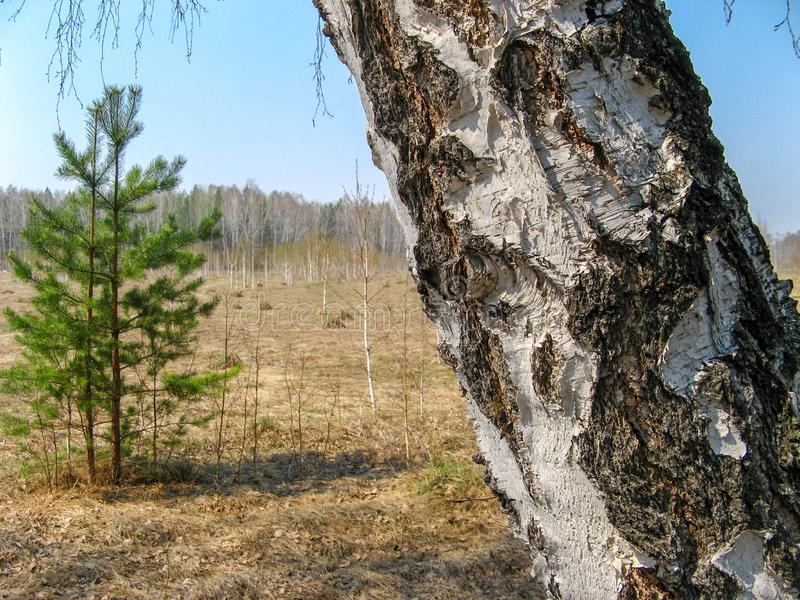 杉木森林在好日子在车里雅宾斯克,俄罗斯 免版税库存图片