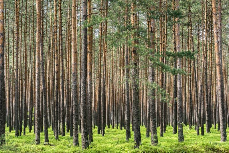 杉木森林在波兰 库存照片