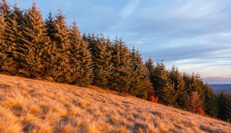 杉木森林在特兰西瓦尼亚 库存图片