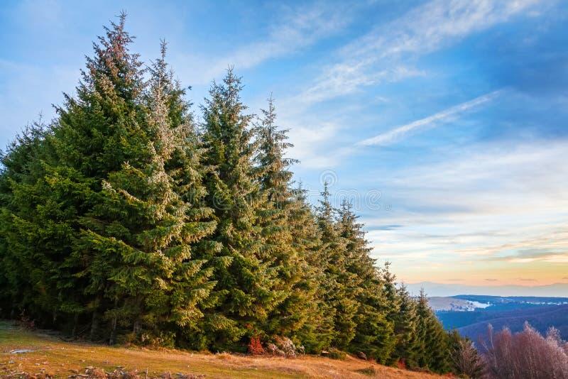 杉木森林在特兰西瓦尼亚 免版税库存图片