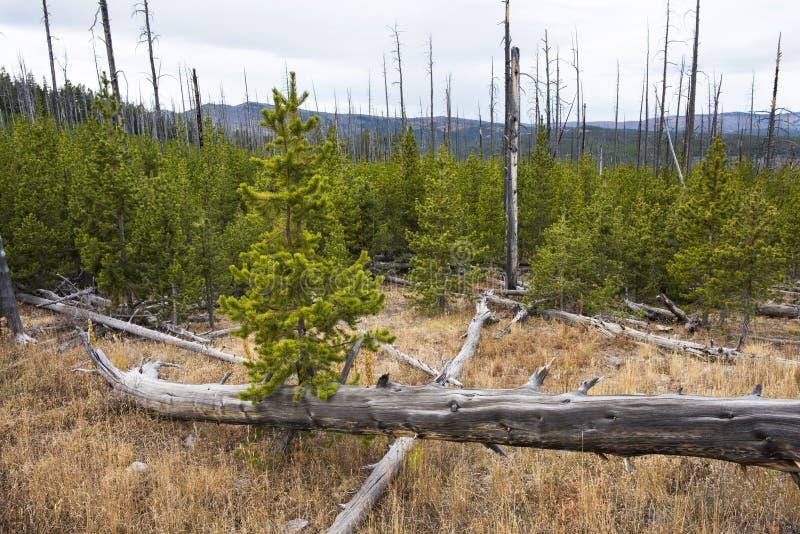 杉木森林新的成长在火灾损失以后的 免版税库存图片