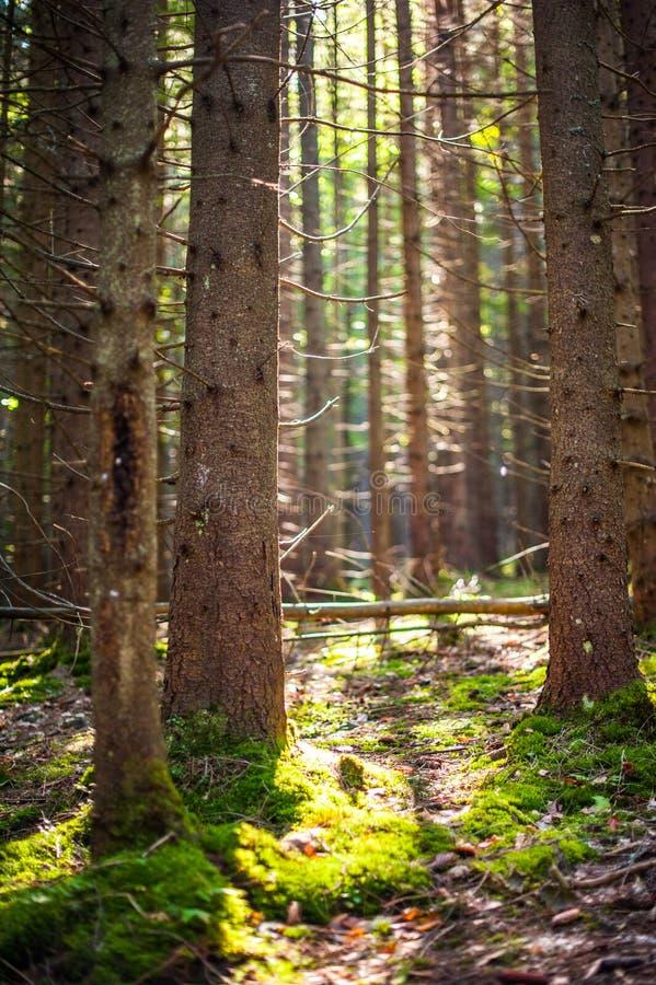 杉木森林有与松树的美好的轻的看法在natur 免版税库存照片