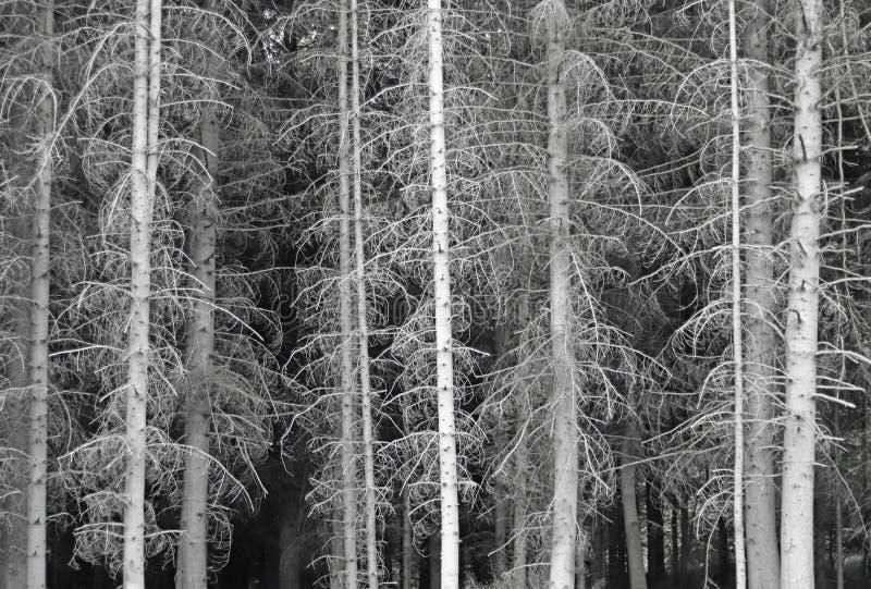 杉木森林的更低的层数不击穿阳光 没有针的树 阴沉的心情 灰色和黑颜色 nat 免版税图库摄影