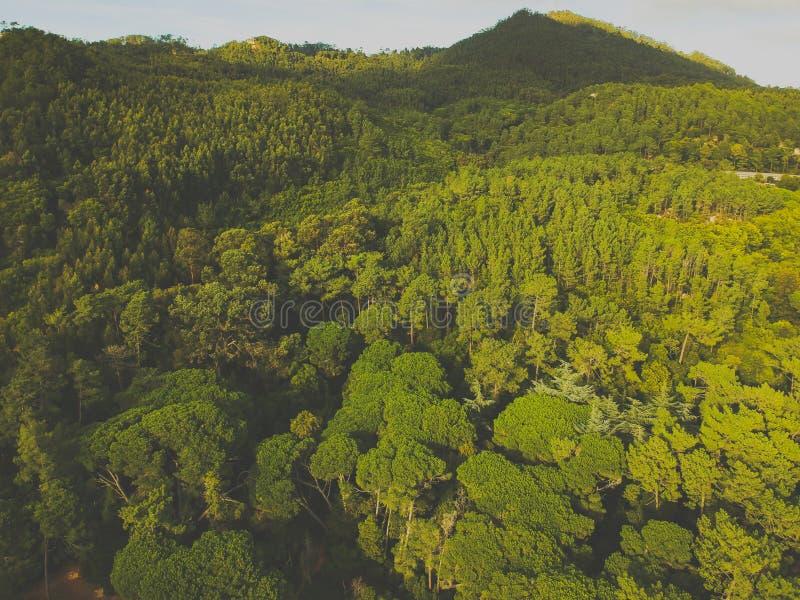 杉木森林的鸟瞰图 图库摄影