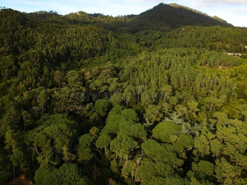 杉木森林的鸟瞰图 库存照片