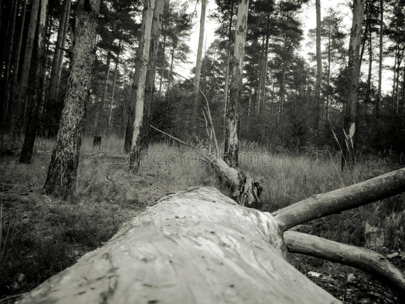 杉木森林葡萄酒照片  免版税库存图片
