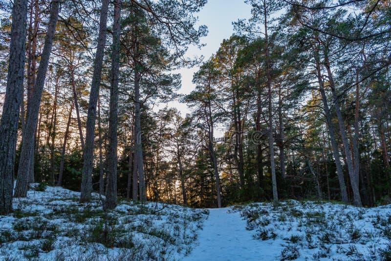 杉木森林足迹,在海的寒冷冬天天 免版税库存照片