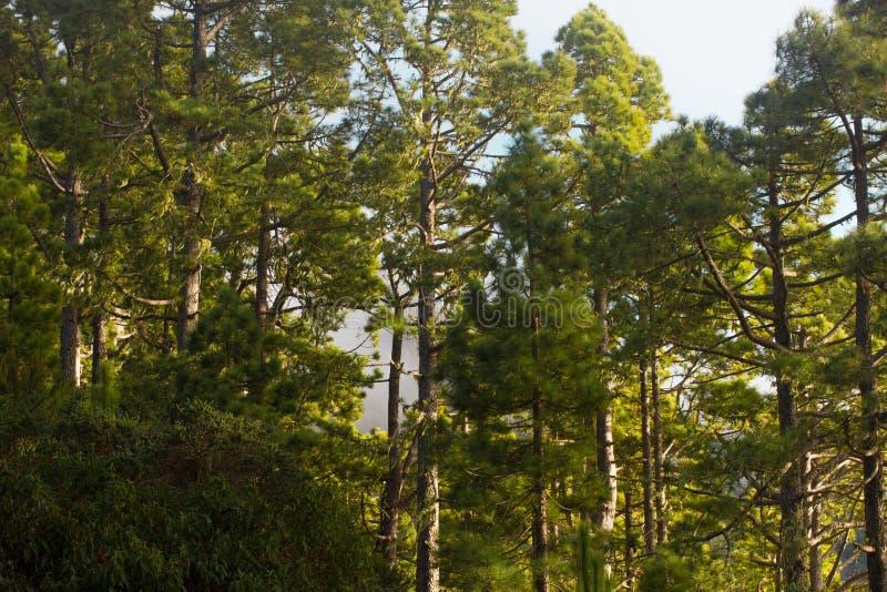杉木森林,豪华的绿色树 能承受的清楚的生态系 松属canariensis,加那利群岛 免版税图库摄影
