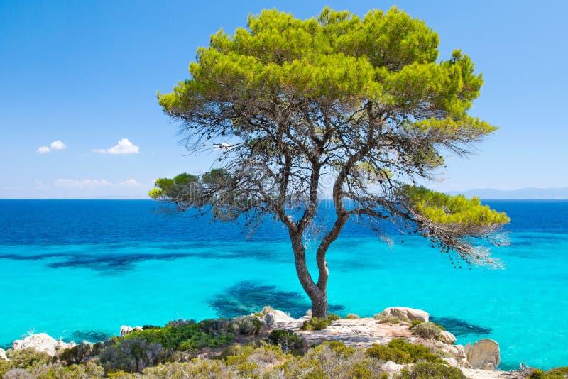 杉木由海的林木在Halkidiki 免版税库存照片