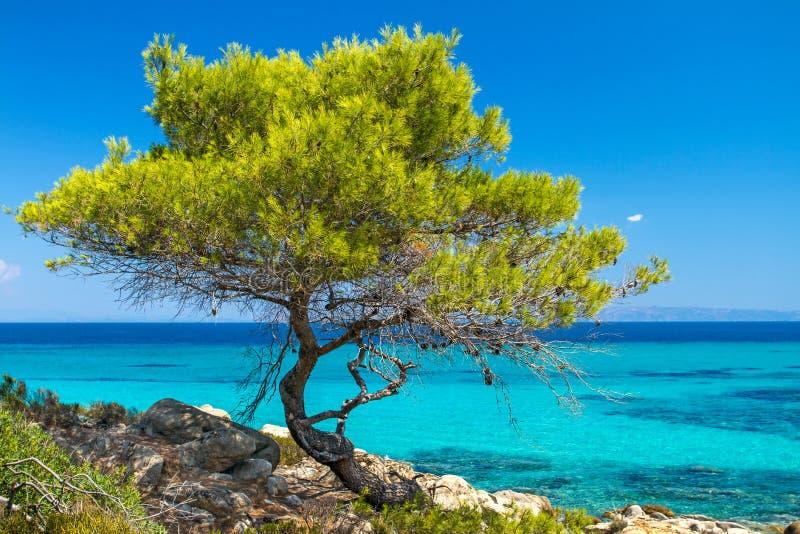 杉木由海的林木 免版税库存照片