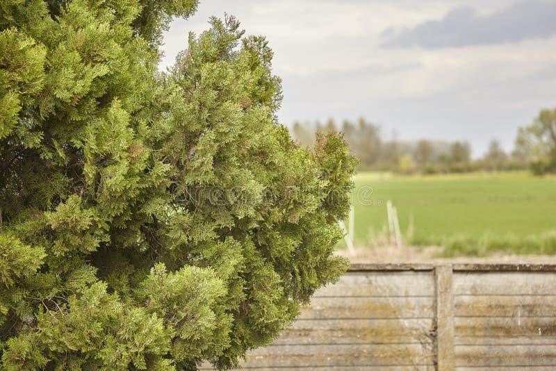杉木的叶子 图库摄影