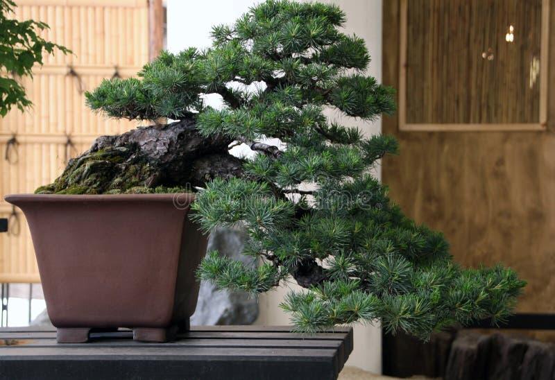 从杉木的日本盆景 库存照片
