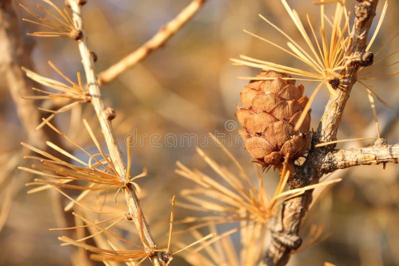 杉木的锥体 免版税库存照片