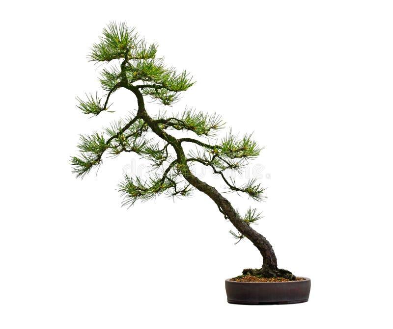 杉木盆景树 免版税库存图片