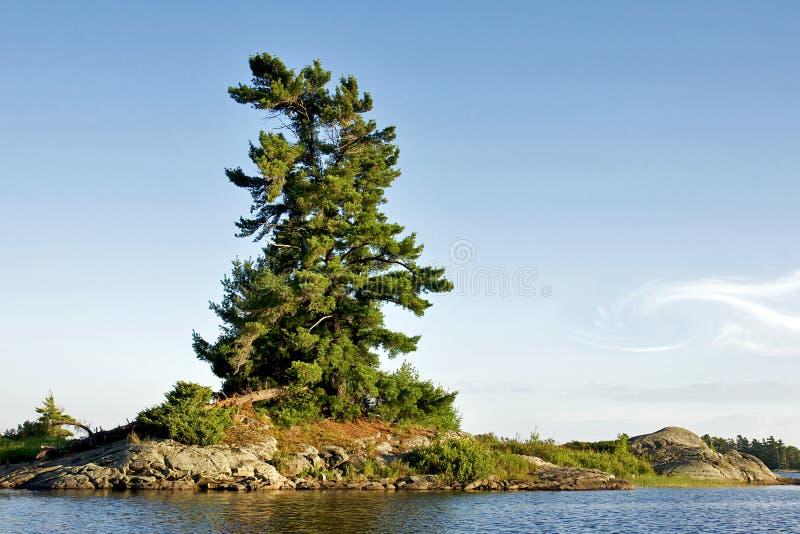杉木空白被风吹扫 图库摄影