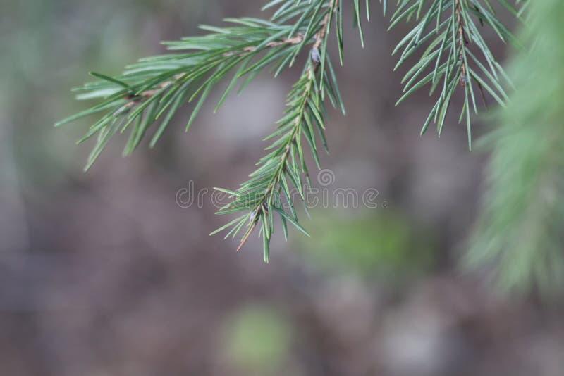 杉木绿色小树枝  免版税库存照片
