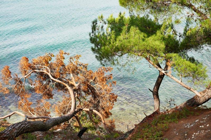 杉木美好的分支在岸的在海 库存图片
