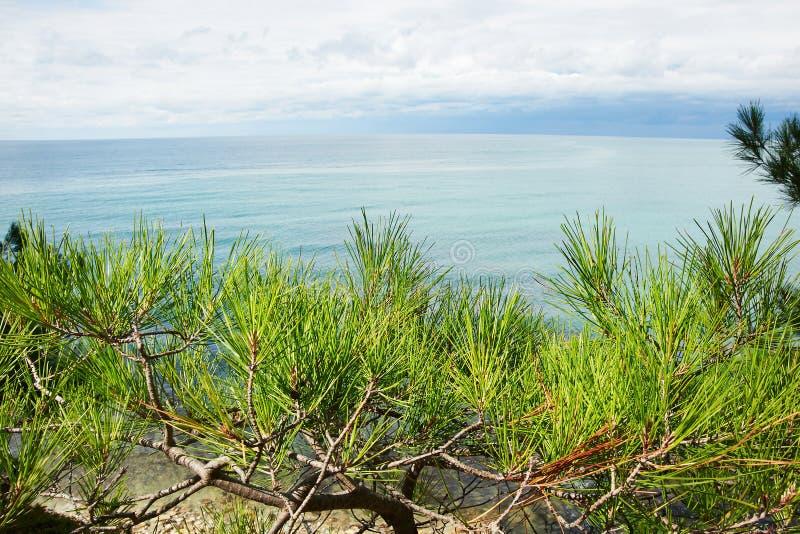 杉木美好的分支在岸的在海 免版税库存照片