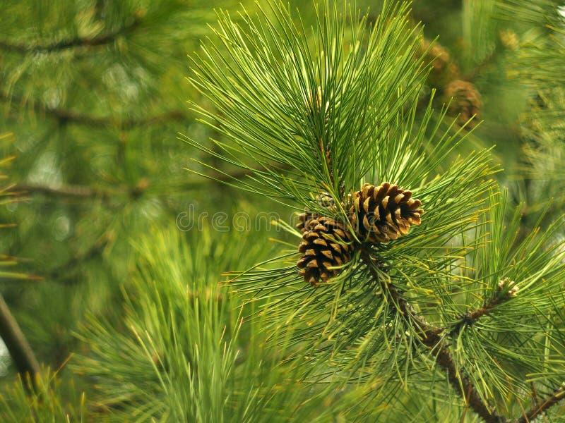 杉木锥体在树增长 免版税库存图片