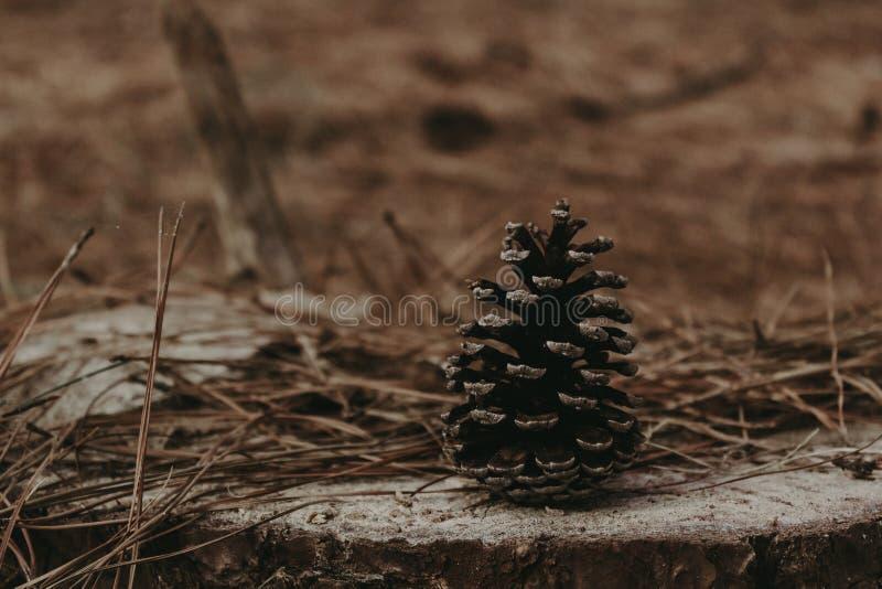 杉木锥体在秋天 免版税图库摄影