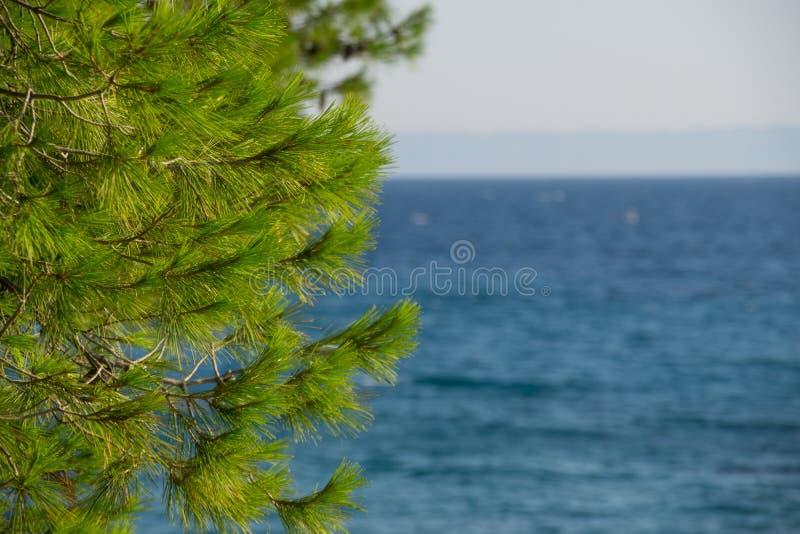 杉木锥体树和清楚的天空蔚蓝和海水新鲜的叶子在背景中 免版税库存照片