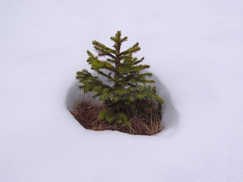 杉木雪结构树 库存照片