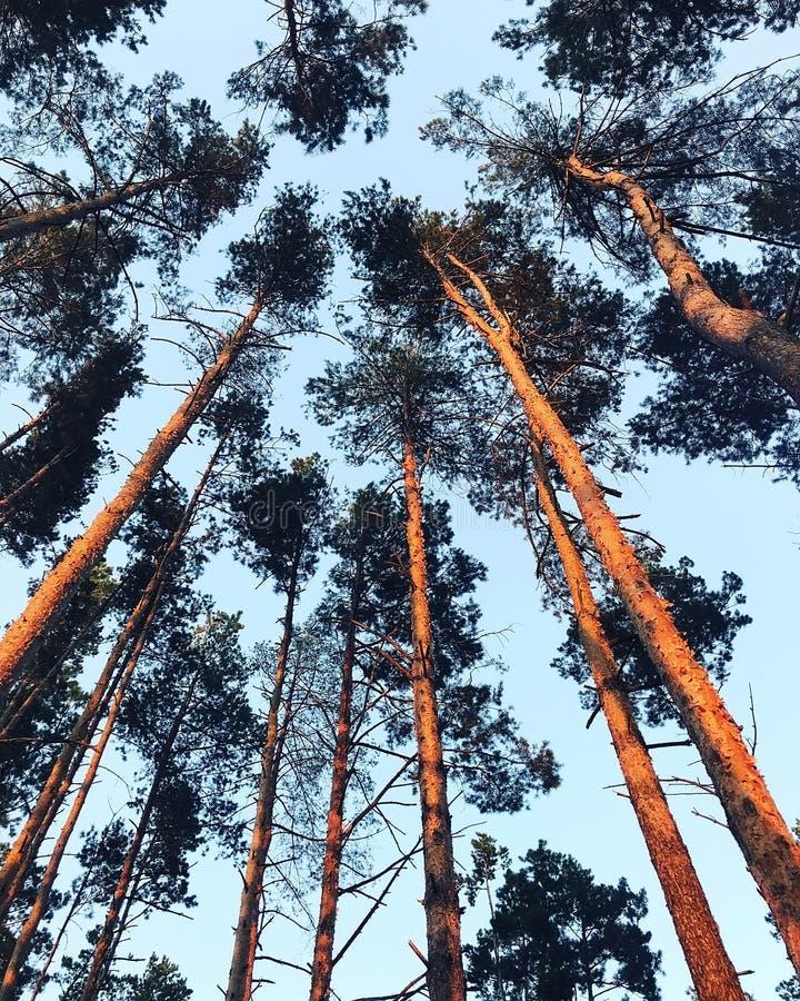 杉木顶层 库存图片
