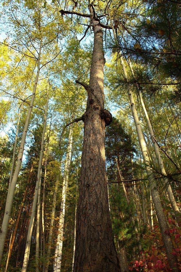 杉木高,死的树干  免版税库存图片