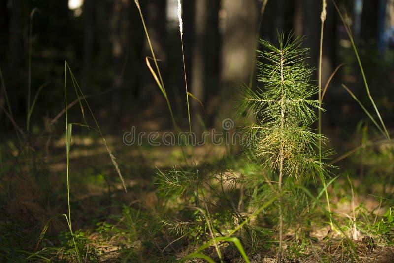 杉木,常青小树 拉特银币 PÃnus sylvéstris 免版税库存图片