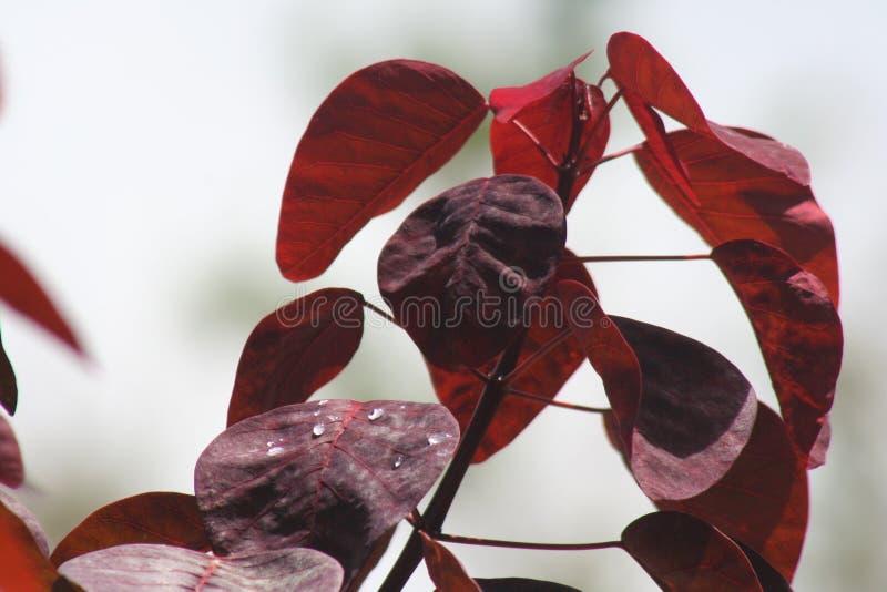 杉木 免版税图库摄影