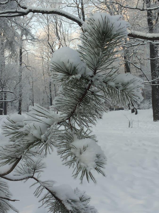 Download 杉木 库存照片. 图片 包括有 冬天, brander, 冻结, 杉木 - 72368532