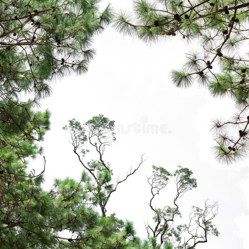 杉木 免版税库存图片