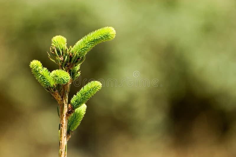 杉木tree1 免版税库存图片