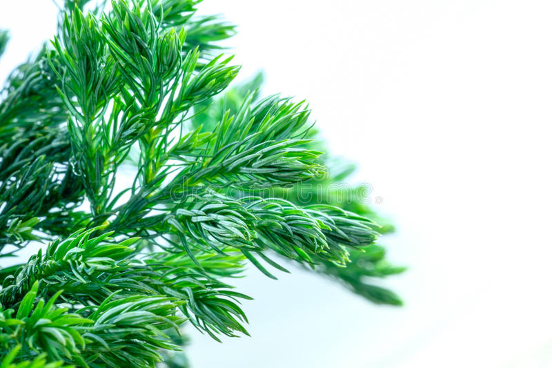 Download 杉树关闭叶子 库存照片. 图片 包括有 这里, 玻色子, 抽象, 没人, beauvoir, 自然, 常青树 - 59106724