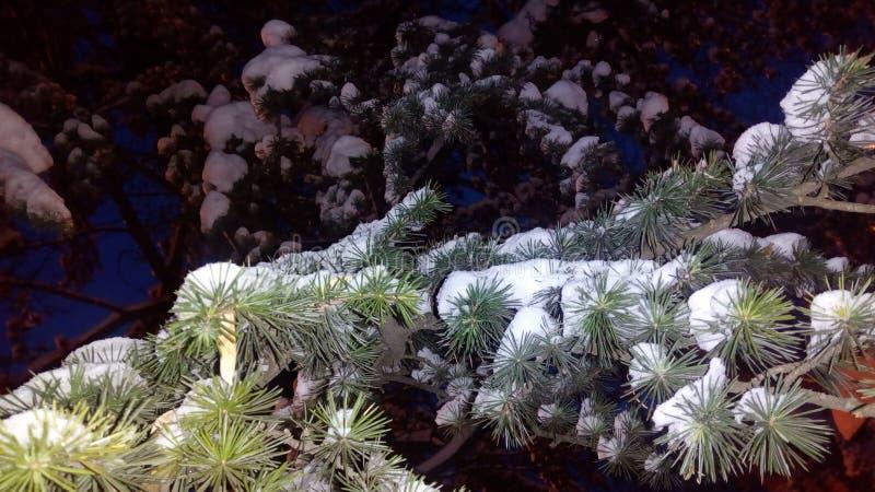 杉树冬天 免版税图库摄影